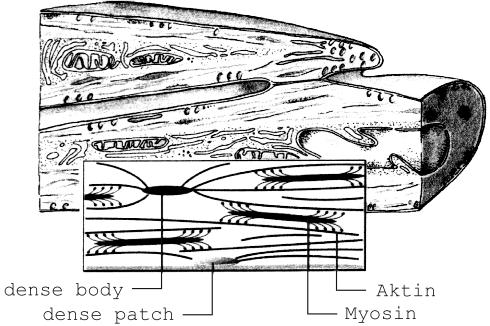 2 Grundlagen der Muskelphysiologie